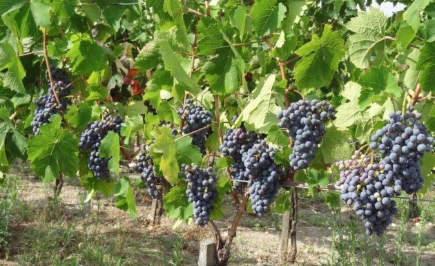 La vigne hybride